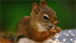 Grampian Squirrel Group logo and link