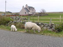 Sheep family and house, Scotland. © Diana Feliciano